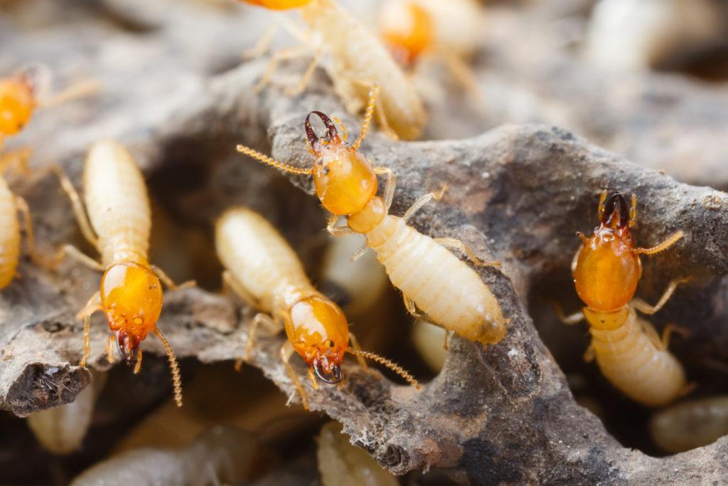 termite control - termite treatment